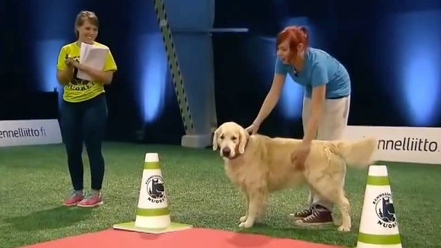 Golden Retriever Epically Fails During Dog Show Wins All Our - Golden retriever obedience competition fail