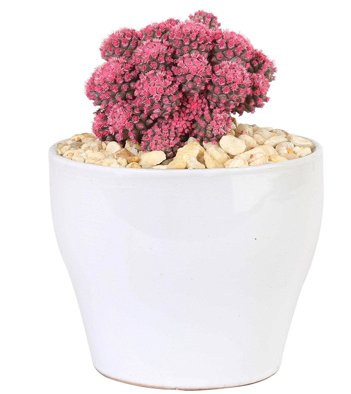 Costa Farms Desert Gems Pink Cacti