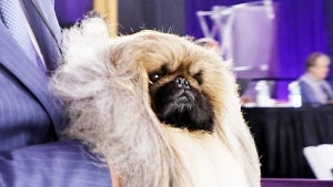 Meet the Westminster Kennel Club's 2021 'Best in Show' Winner, Wasabi